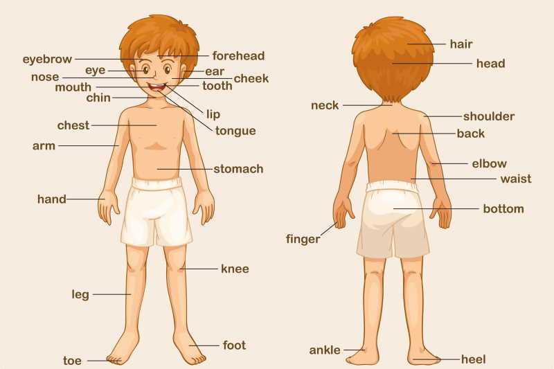 parti del corpo in Inglese